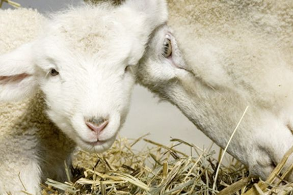 The Babies Lambs Have Arrived at Green Meadows Farm Hamilton MA