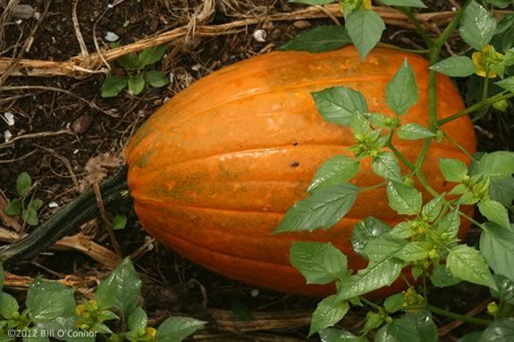 North Shore Kids' list of farms that offer 'Pick Your Own' pumpkins on the North