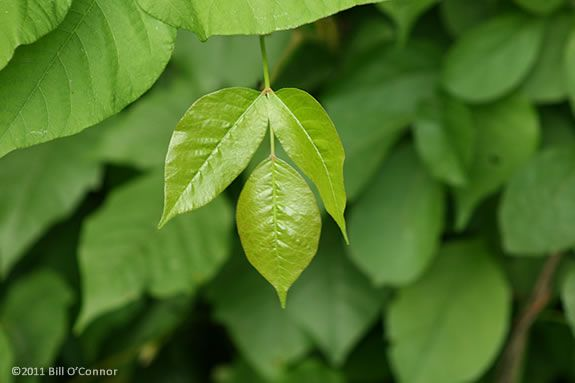"""Poison Ivy has three leaves on each branch node. """"Leaves of Three, Let it Be."""""""