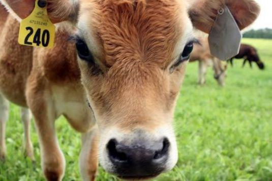 This April vacation program at Appleton Farms in Ipswich Massachusetts will follow the farms dairy operation.