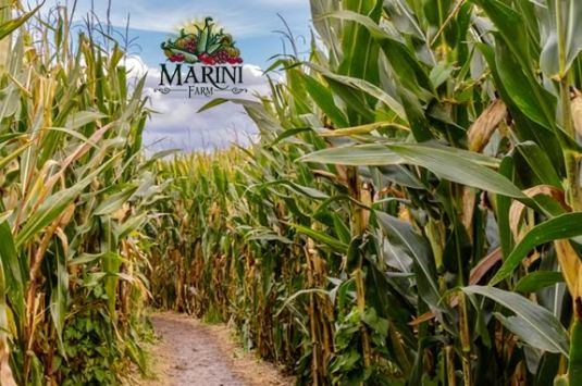 The 2015 Marini Farm Corn Maze is pirate themed! Kernals of Gold in Ipswich MA AAAArgh!