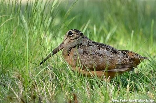 Explore Parker River National Wildlife Refuge and lear about the American Woodcock!