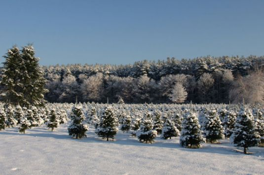 Cut your own Christmas Tree farms north of Boston Massachusetts on the North Shore